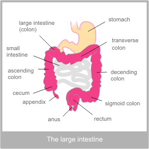 The Large Intestine. Western physiological description of ...